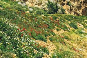Flowers on Crete in spring, Crete south-west: Sfakia. hiking trails