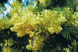 blooming mimosa tree hiking trails Portugal