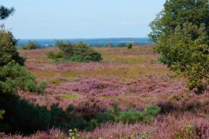 flowering heather in August hiking trails walking the netherlands, Twentepad