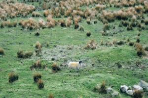 Brontӫ sheep? Pennine way England hiking trails